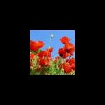 poppy-96